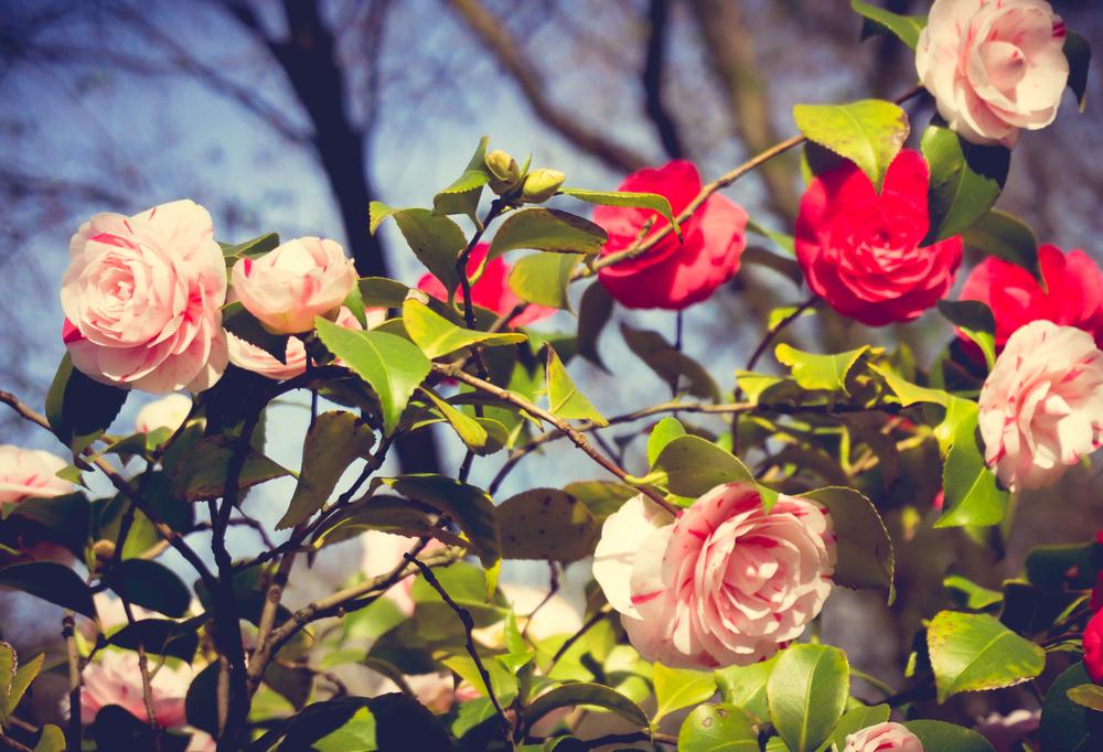 Rozen, rozenstruik, snoeien, tuinseizoen