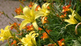 Lang genieten van de daglelie (Hemerocallis)