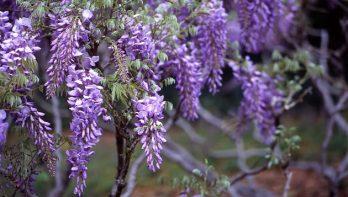 Wisteria of blauweregen: tips voor een goede bloei