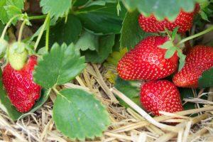 Stro onder aardbeien