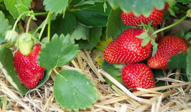 Bedje van stro onder aardbeien of courgettes