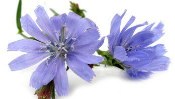 Azuurblauwe bloemen van de wilde cichorei