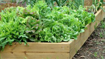 Sla kweken: dé tips en trucs voor een snelle oogst
