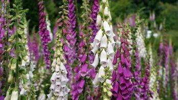 Vingerhoedskruid: giftige schoonheid in de tuin