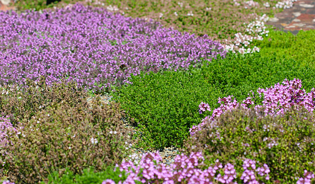 Kruiden in de herfst: tijm, salie en oregano oogsten