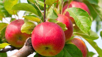 Zware takken van fruitbomen steunen
