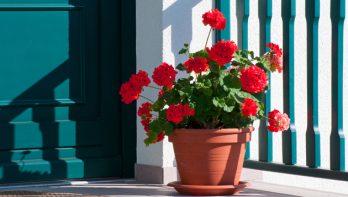 Hoe overwinter je pelargoniums (geraniums)?