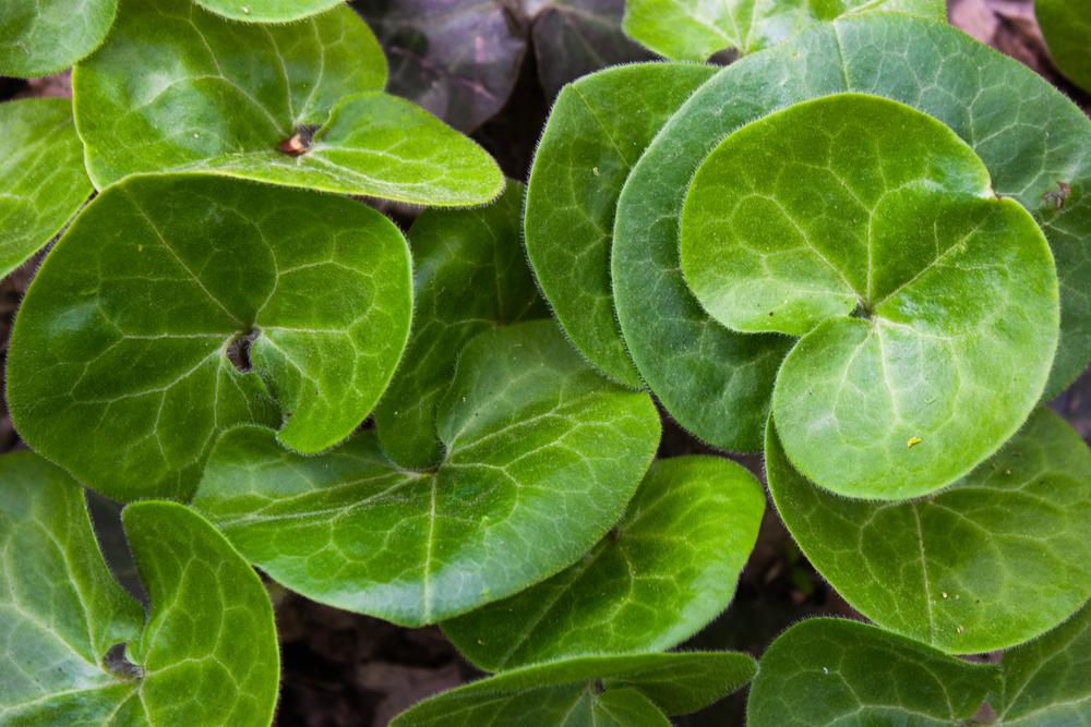 Asarum europaeum, bodembedekkers, tuinseizoen