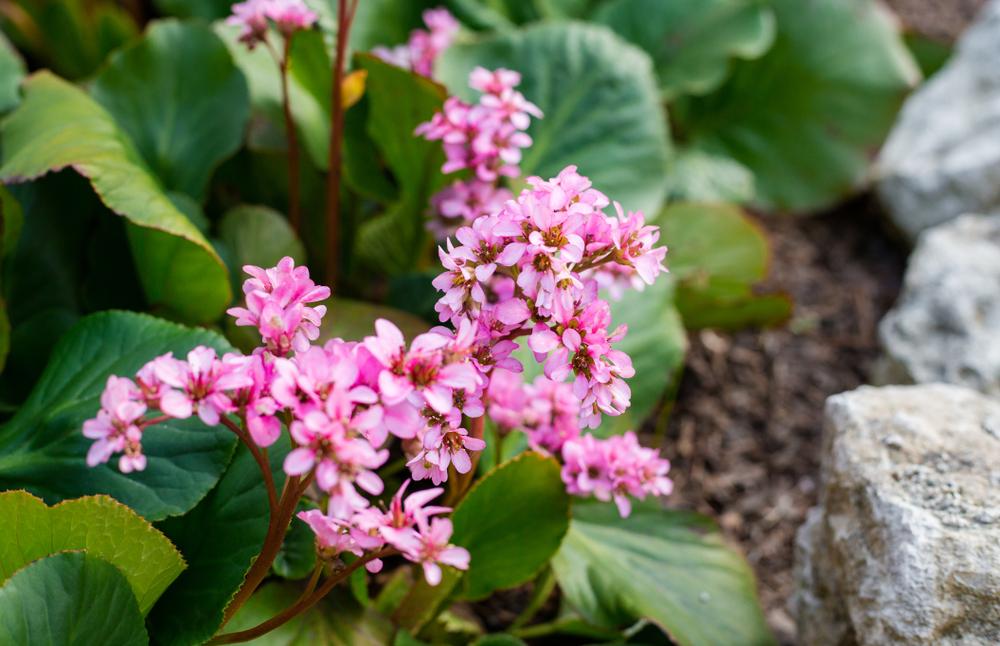 Bergenia, schoenlappersplant, bodembedekkers, tuinseizoen
