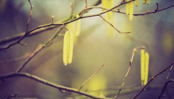 Corylus avellana, hazelaar