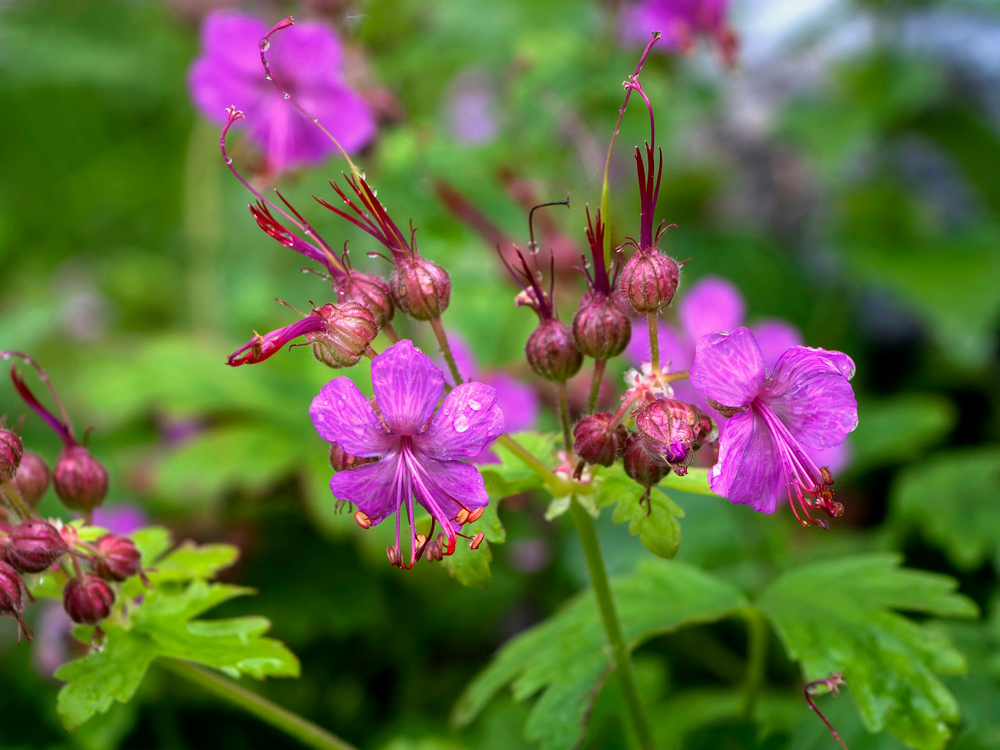 Geranium macrorrhizum, geranium, bodembedekkers tuinseizoen