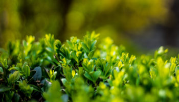 Ilex crenata, japanse hulst, tuinseizoen