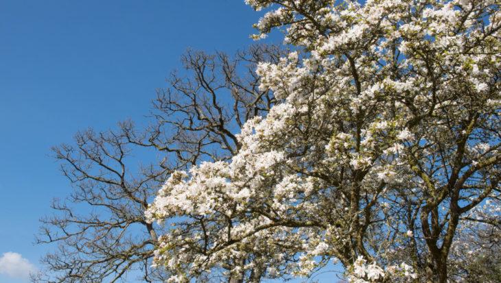 Magnolia kobus var. loebneri 'Dr Merrill'