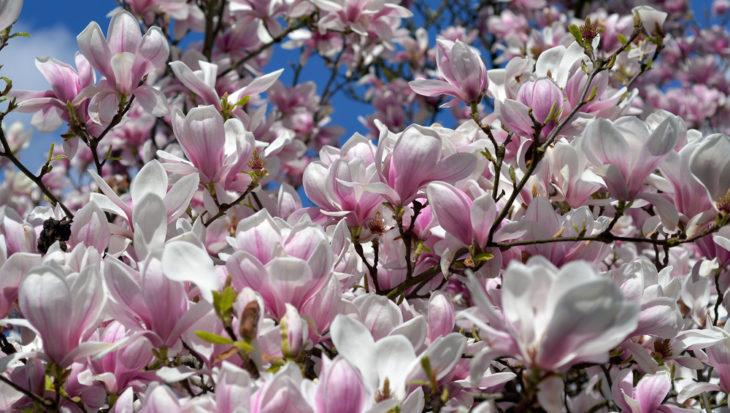 Magnolia speciosa
