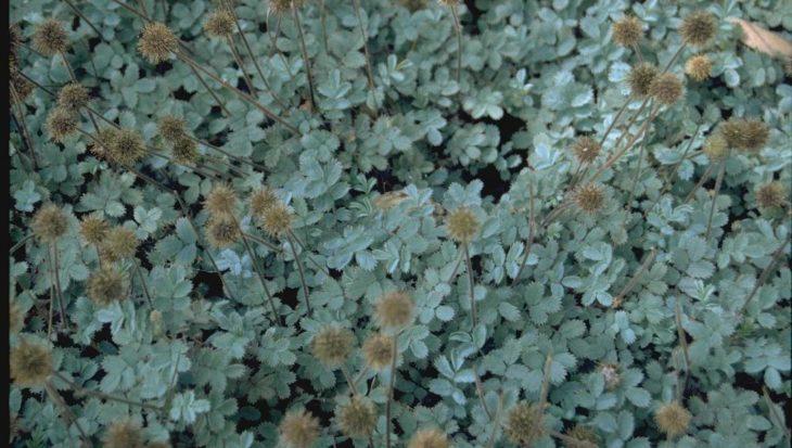Acaena caesiiglauca