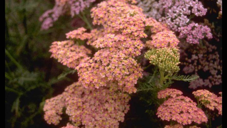 Achillea millefolium 'Altrosa'