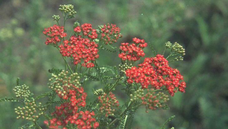 Achillea millefolium 'Red Beauty'