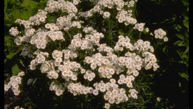 Achillea ptarmica 'Major'