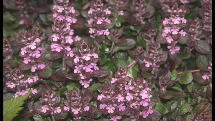 Ajuga reptans 'Purple Torch'