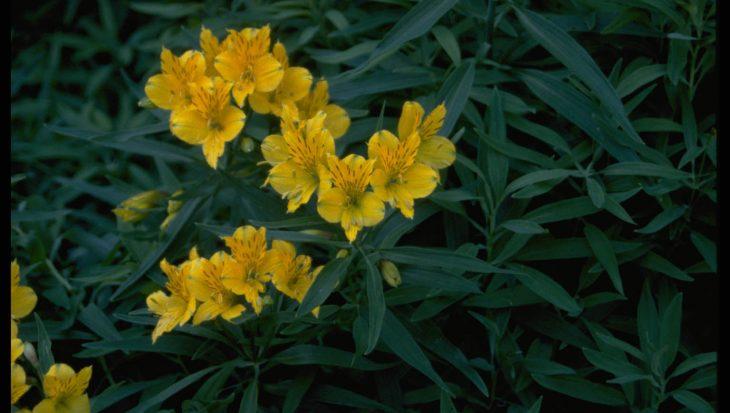 Alstroemeria aurea 'Lutea'