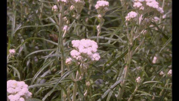 Anaphalis margaritacea 'Neuschnee'
