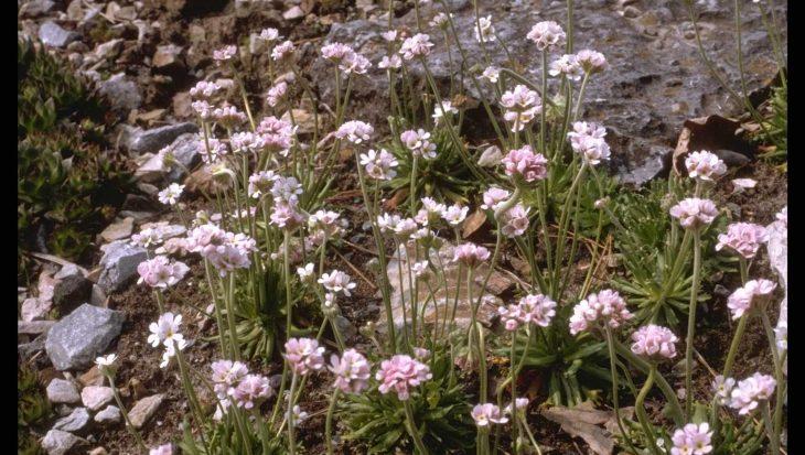 Androsace albana