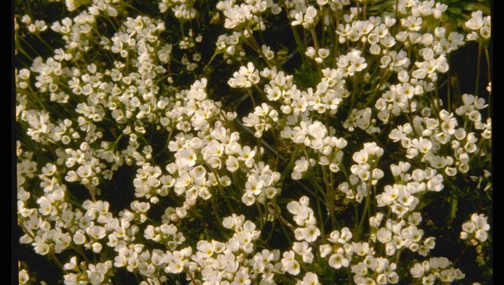 Androsace carnea subsp. brigantiaca