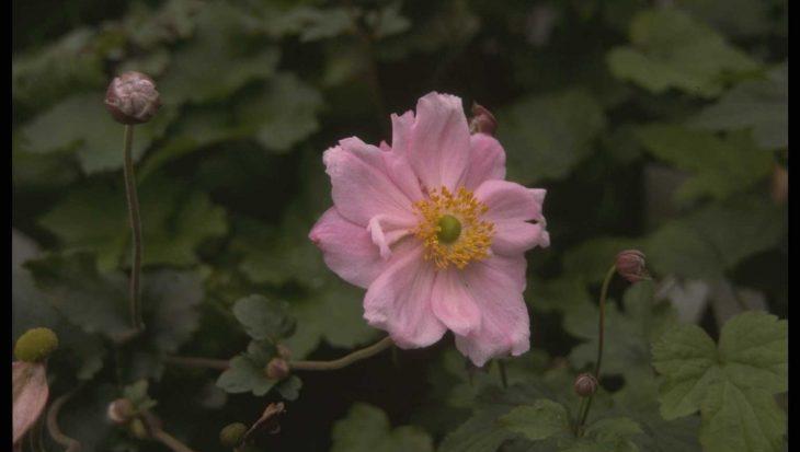 Anemone x hybrida 'K?nigin Charlotte'