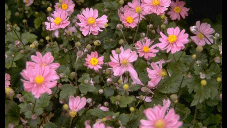 Anemone x hybrida 'Margarete'