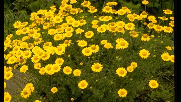 Anthemis x hybrida 'Kelwayi'