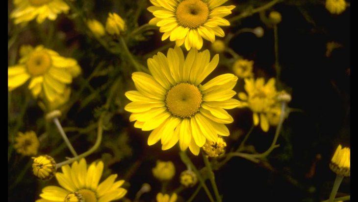 Anthemis x hybrida 'Wargrave'