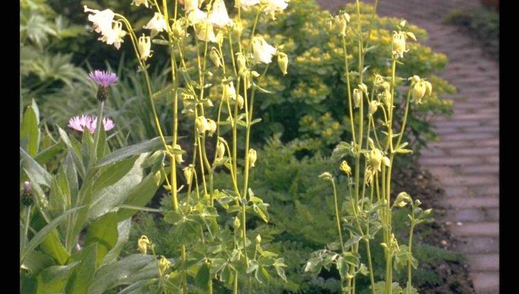 Aquilegia vulgaris 'Nivea'