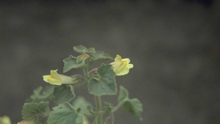 Asarina procumbens
