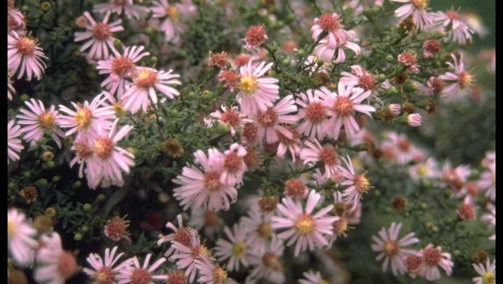 Aster 'Coombe Fishacre'