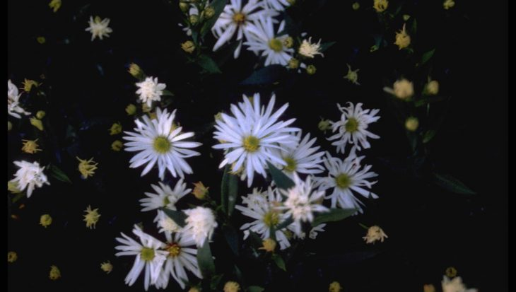 Aster novi-belgii 'Mount Everest'