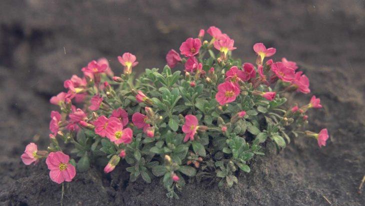 Aubrieta 'Rose Queen'
