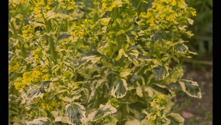 Barbarea vulgaris 'Variegata'