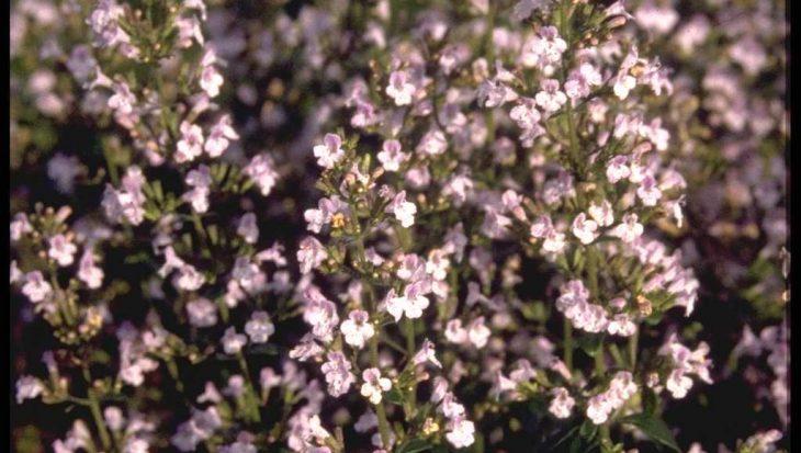 Clinopodium calamintha