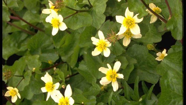 Caltha palustris var. alba
