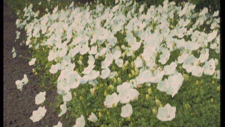 Campanula carpatica 'Alba'