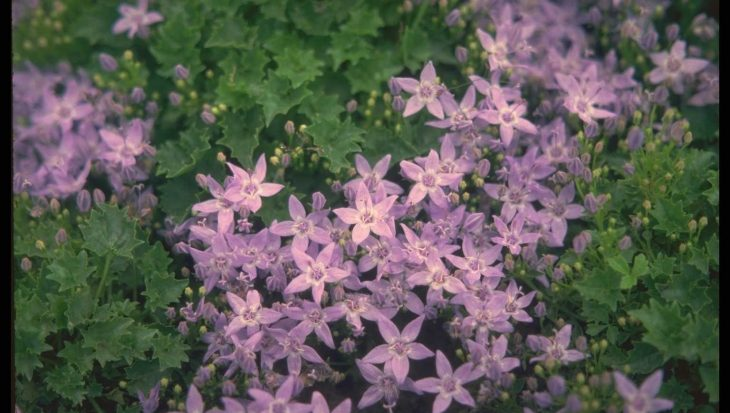 Campanula garganica 'Erinus Major'