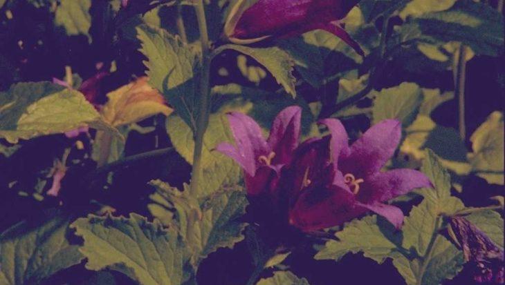 Campanula latifolia var. macrantha