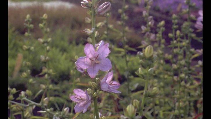 Campanula persicifolia subsp. sessiliflora