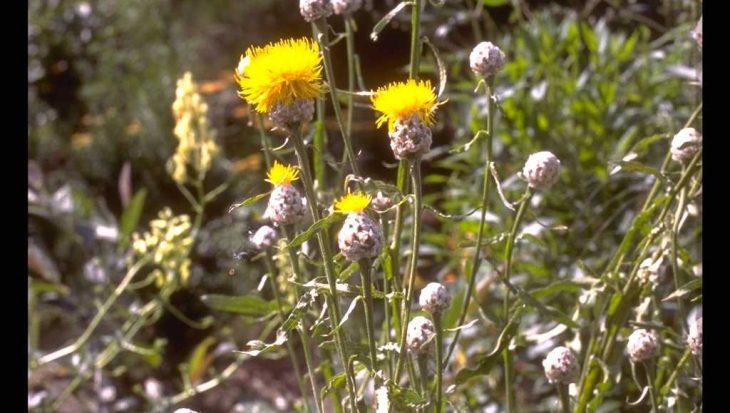 Centaurea glastifolia