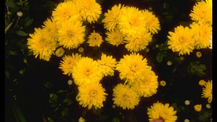Dendranthema 'Flora'