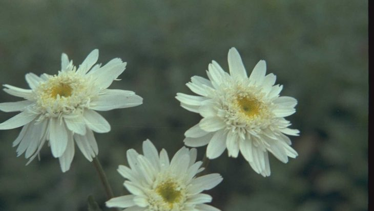 Leucanthemum 'Christine Hagemann'