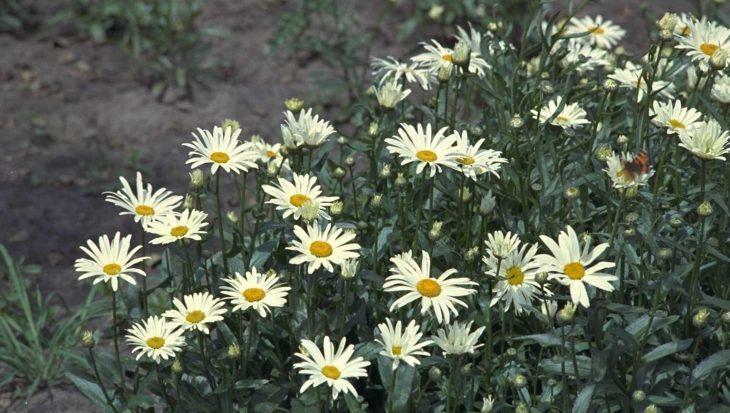 Leucanthemum 'Silberprinzesschen'