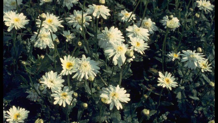 Leucanthemum 'Wirral Supreme'