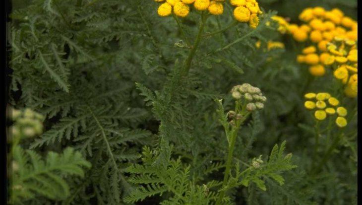 Tanacetum vulgare 'Crispum'