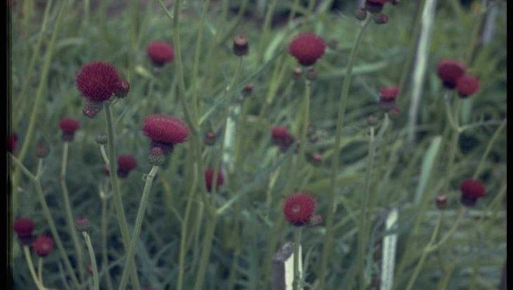 Cirsium rivulare 'Atropurpureum'